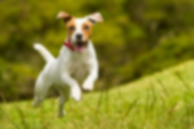 jack-russell-blurred-660x440